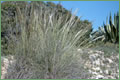 Stipa Tenacissima - esparto grass from Spain and North Africa
